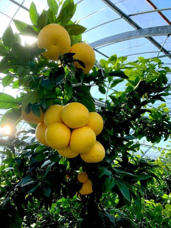 熊本 宮本果樹園の国産グレープフルーツ